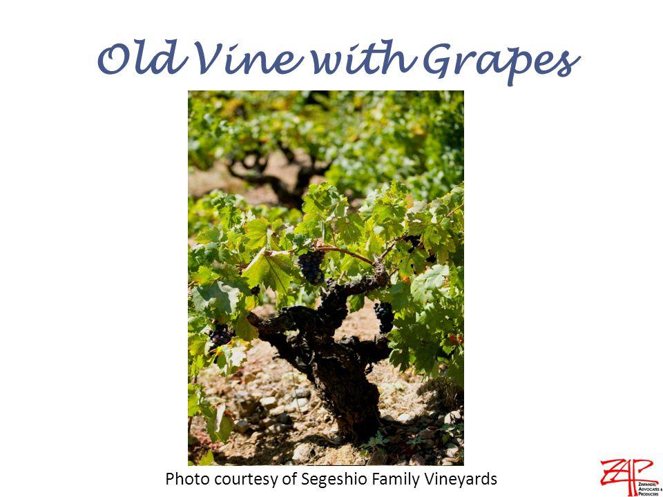 Old Vine with Grapes Photo courtesy of Segeshio Family Vineyards