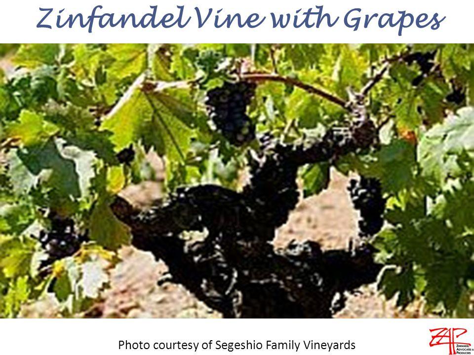 Zinfandel Vine with Grapes Photo courtesy of Segeshio Family Vineyards