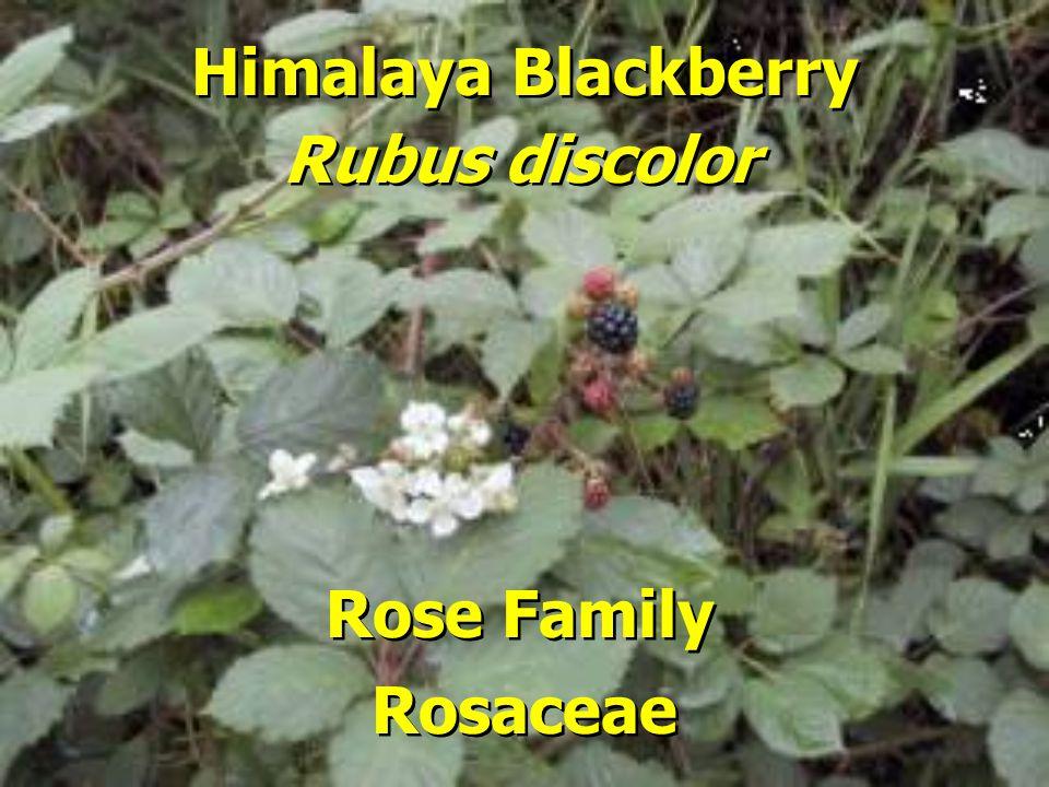 Himalaya Blackberry Rose Family Rubus discolor Rosaceae