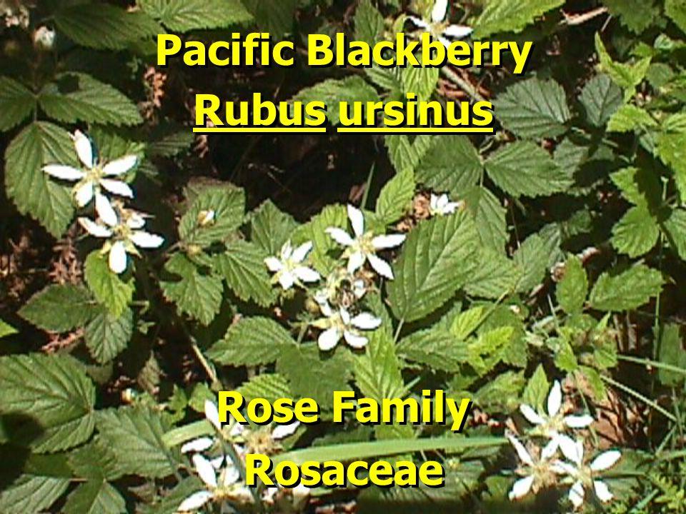 Pacific Blackberry Pacific Blackberry Rubus ursinus Rubus ursinus Rose Family Rose Family Rosaceae