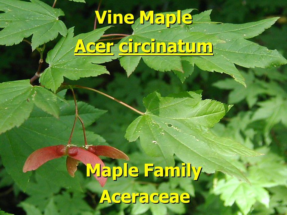 Vine Maple Acer circinatum Maple Family Aceraceae