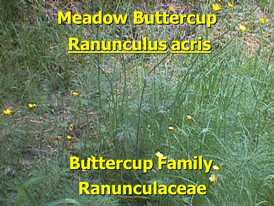 Meadow Buttercup Buttercup Family Ranunculus acris Ranunculaceae