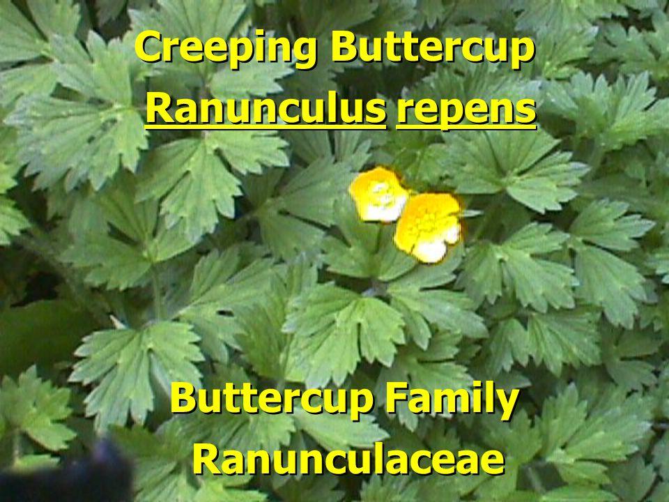 Creeping Buttercup Buttercup Family Ranunculus repens Ranunculaceae