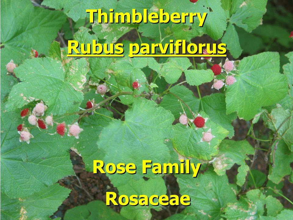 Thimbleberry Rubus parviflorus Rubus parviflorus Rose Family Rose Family Rosaceae