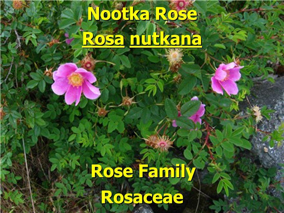 Nootka Rose Rose Family Rosa nutkana Rosaceae