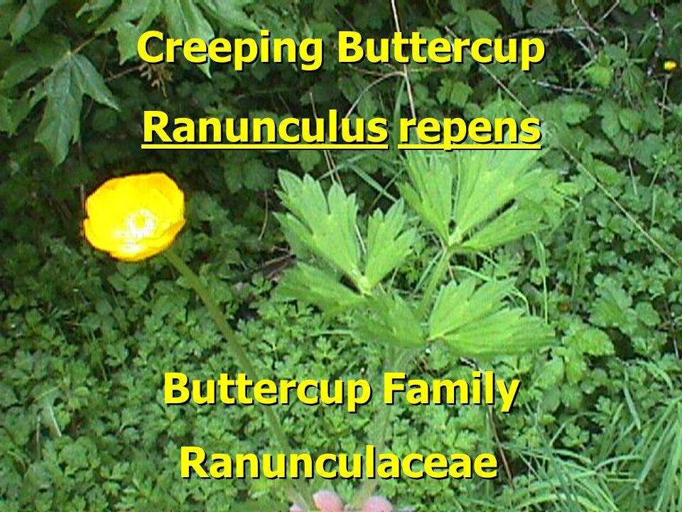 Buttercup Family Ranunculus repens Creeping Buttercup Ranunculaceae