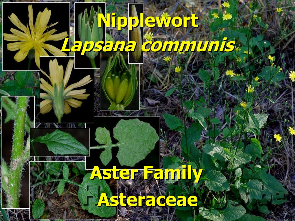 Nipplewort Aster Family Lapsana communis Asteraceae