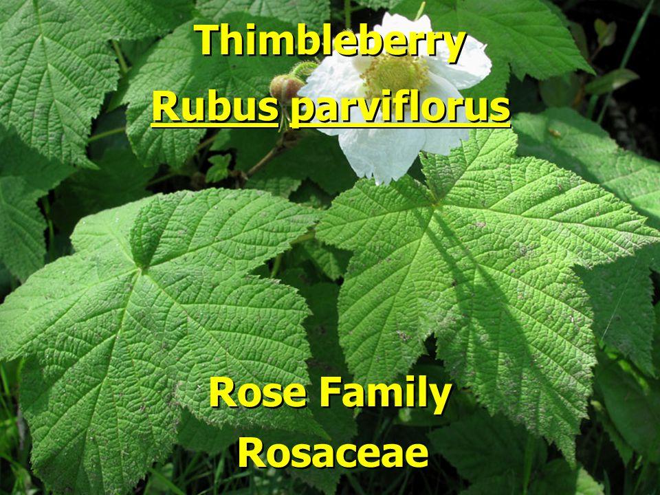 Thimbleberry Rubus parviflorus Rose Family Rosaceae