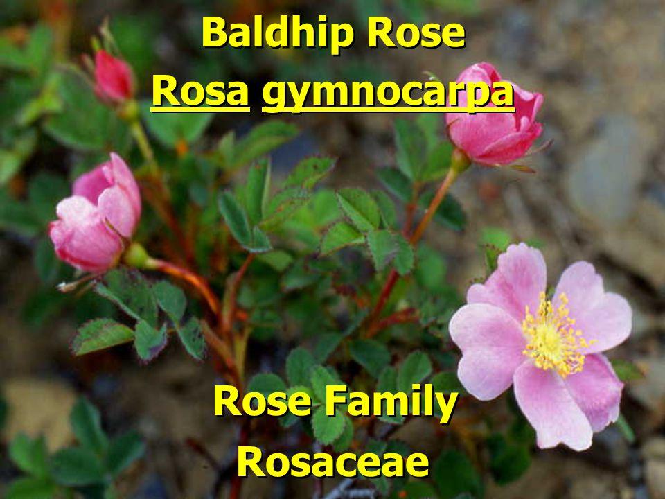 Baldhip Rose Rose Family Rosa gymnocarpa Rosaceae