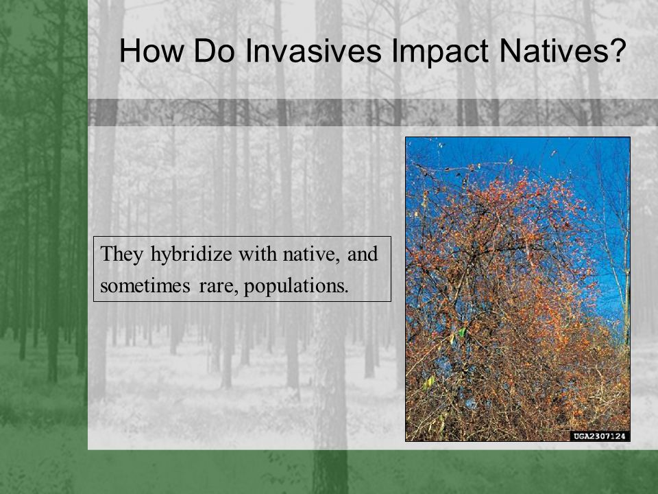 How Do Invasives Impact Natives? They hybridize with native, and sometimes rare, populations.