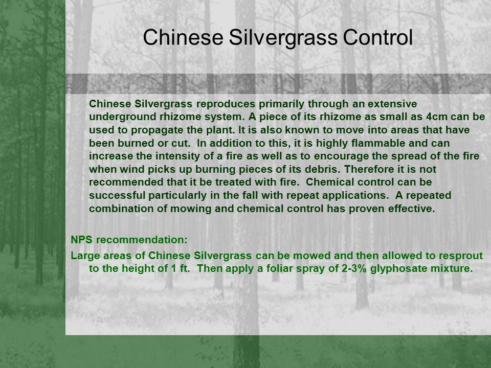 Chinese Silvergrass Control Chinese Silvergrass reproduces primarily through an extensive underground rhizome system. A piece of its rhizome as small