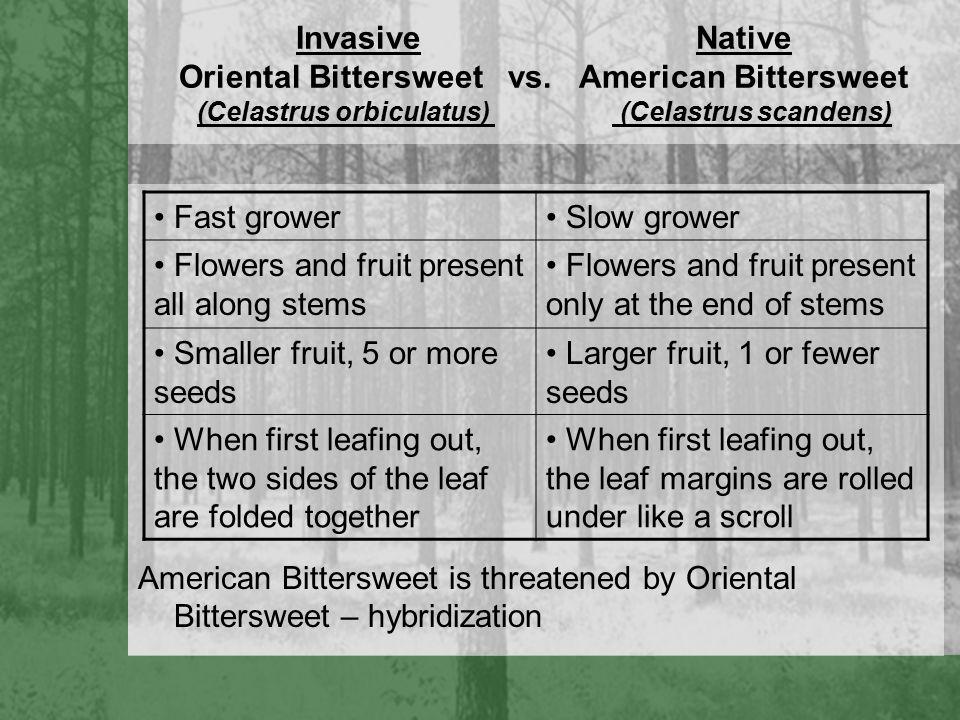 Invasive Native Oriental Bittersweet vs.
