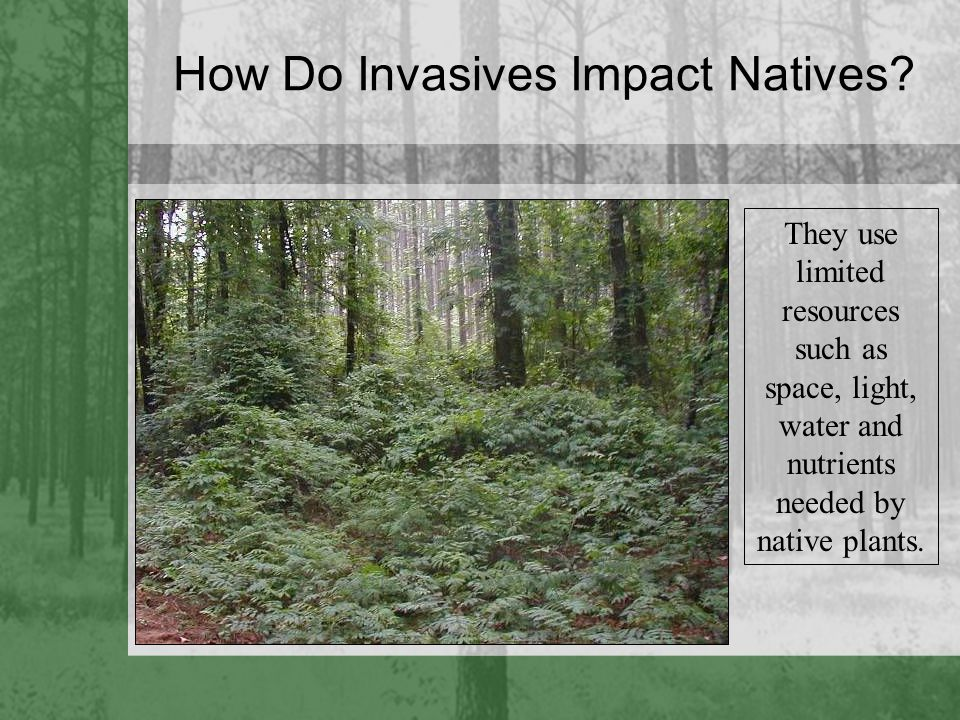 How Do Invasives Impact Natives? They use limited resources such as space, light, water and nutrients needed by native plants.
