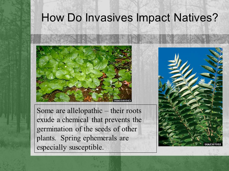 How Do Invasives Impact Natives? Some are allelopathic – their roots exude a chemical that prevents the germination of the seeds of other plants. Spri