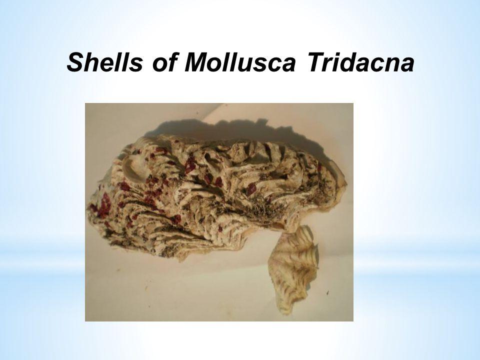 Shells of Mollusca Tridacna