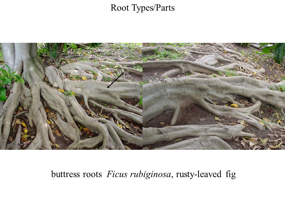 Root Types/Parts buttress roots Ficus rubiginosa, rusty-leaved fig