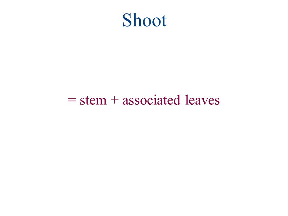 Shoot = stem + associated leaves