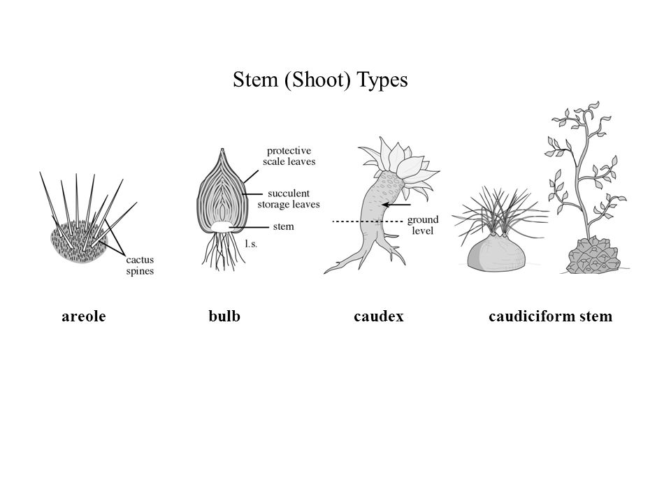 Stem (Shoot) Types areolebulbcaudexcaudiciform stem