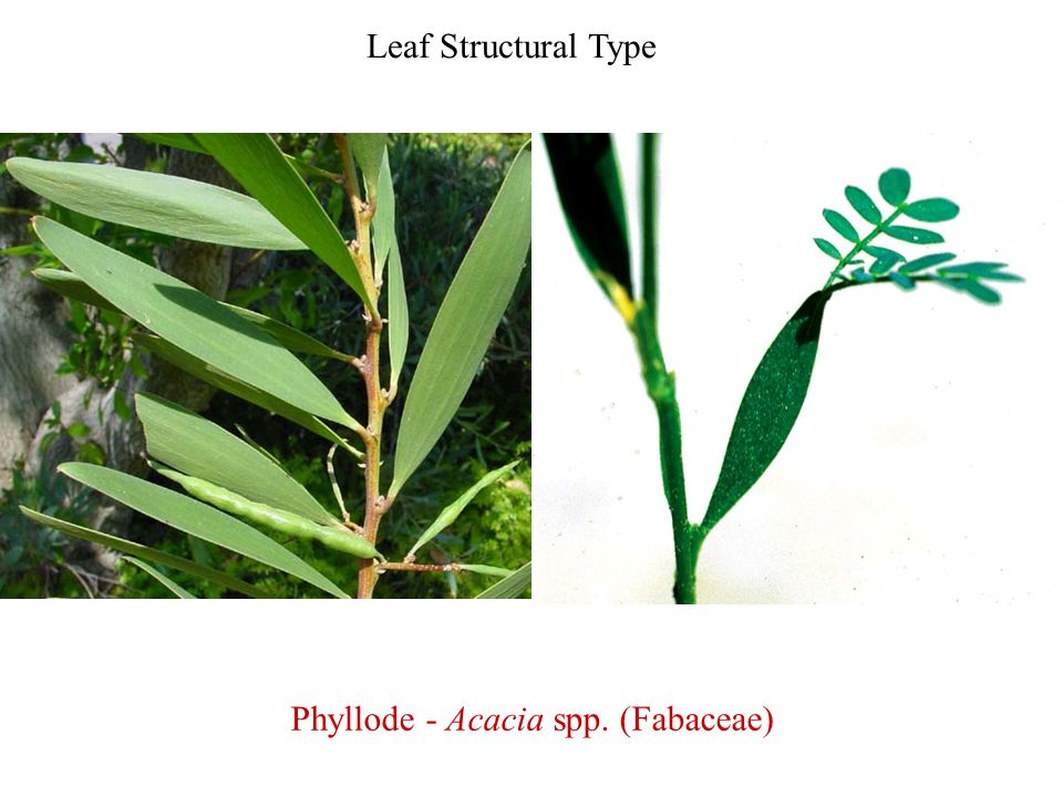 Leaf Structural Type Phyllode - Acacia spp. (Fabaceae)