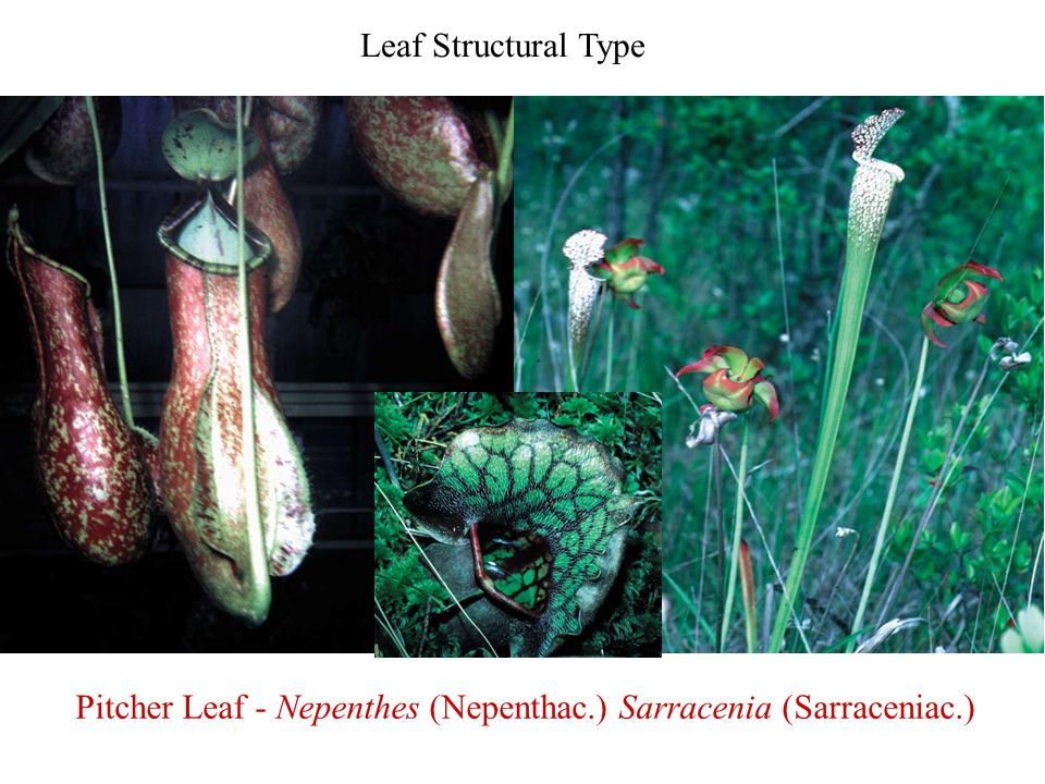 Leaf Structural Type Pitcher Leaf - Nepenthes (Nepenthac.) Sarracenia (Sarraceniac.)