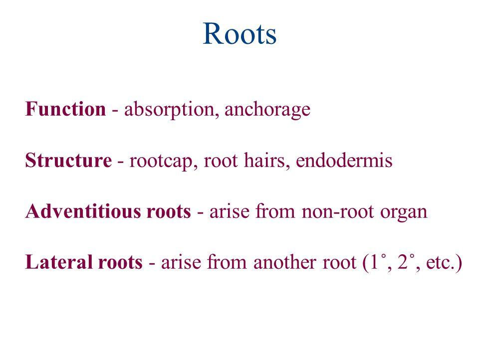 Roots Function - absorption, anchorage Structure - rootcap, root hairs, endodermis Adventitious roots - arise from non-root organ Lateral roots - arise from another root (1˚, 2˚, etc.)