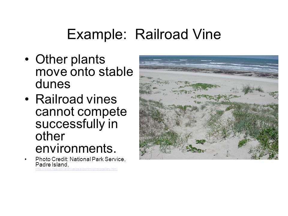 Example: Railroad Vine Other plants move onto stable dunes Railroad vines cannot compete successfully in other environments. Photo Credit: National Pa