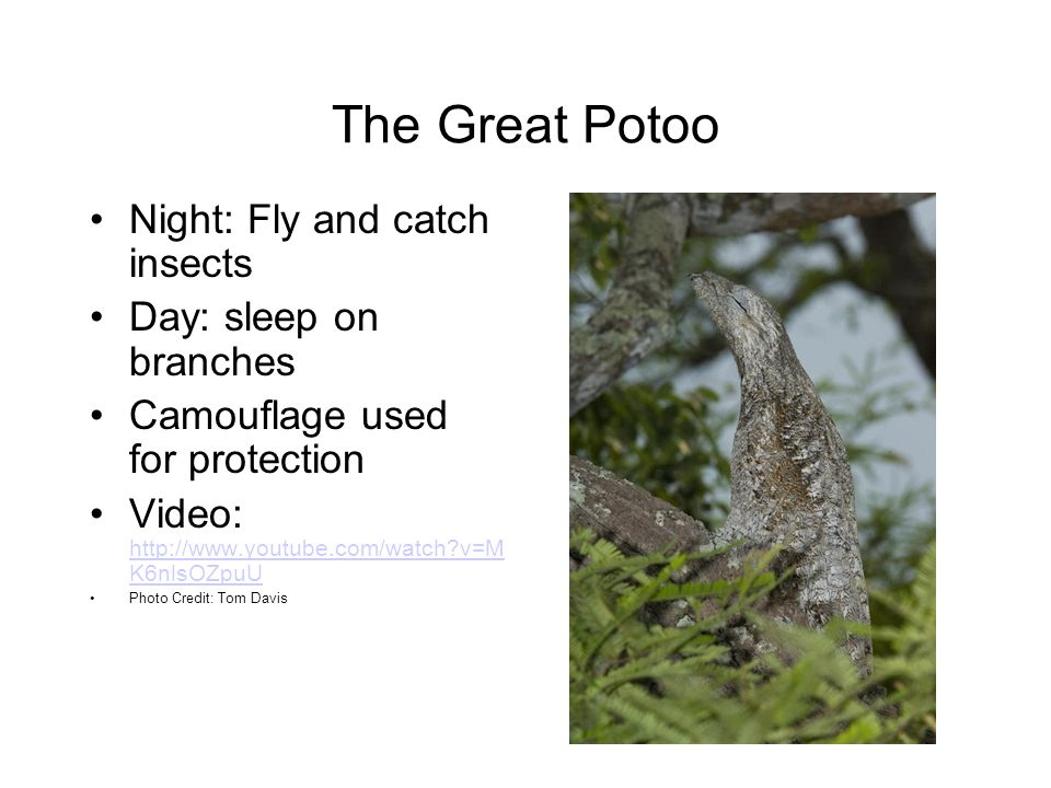 The Great Potoo Night: Fly and catch insects Day: sleep on branches Camouflage used for protection Video: http://www.youtube.com/watch?v=M K6nlsOZpuU http://www.youtube.com/watch?v=M K6nlsOZpuU Photo Credit: Tom Davis