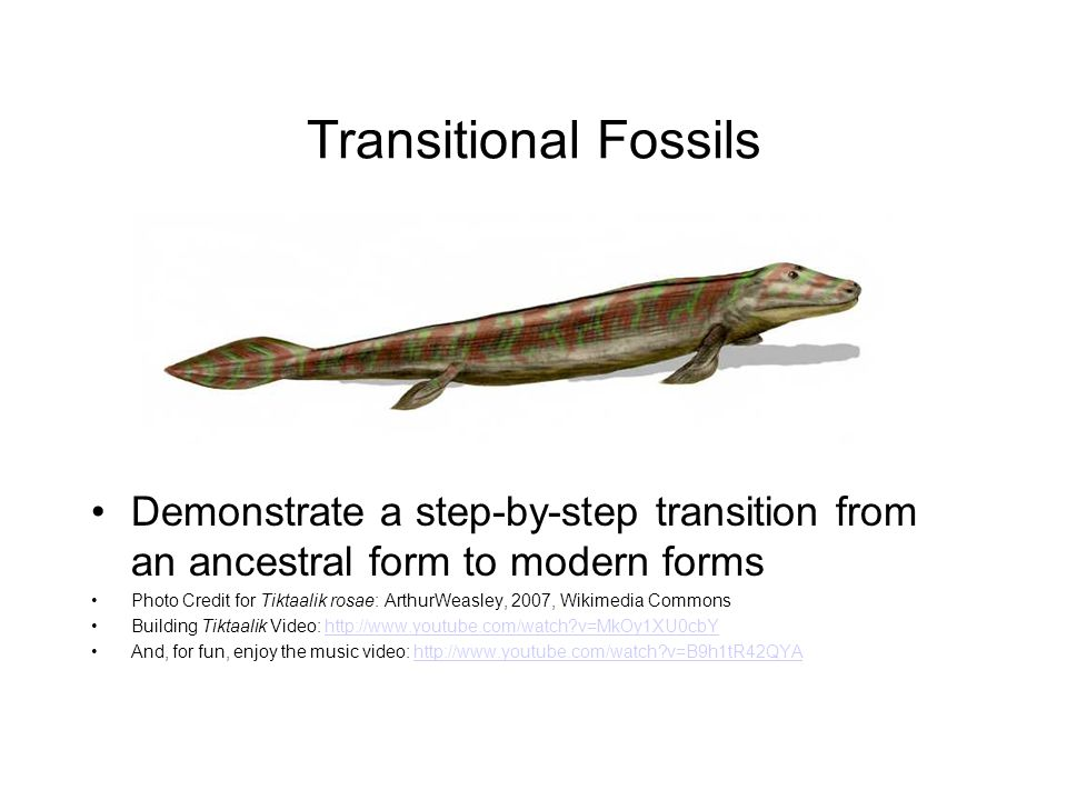 Transitional Fossils Demonstrate a step-by-step transition from an ancestral form to modern forms Photo Credit for Tiktaalik rosae: ArthurWeasley, 2007, Wikimedia Commons Building Tiktaalik Video: http://www.youtube.com/watch?v=MkOy1XU0cbYhttp://www.youtube.com/watch?v=MkOy1XU0cbY And, for fun, enjoy the music video: http://www.youtube.com/watch?v=B9h1tR42QYAhttp://www.youtube.com/watch?v=B9h1tR42QYA