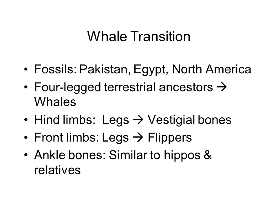 Whale Transition Fossils: Pakistan, Egypt, North America Four-legged terrestrial ancestors  Whales Hind limbs: Legs  Vestigial bones Front limbs: Legs  Flippers Ankle bones: Similar to hippos & relatives