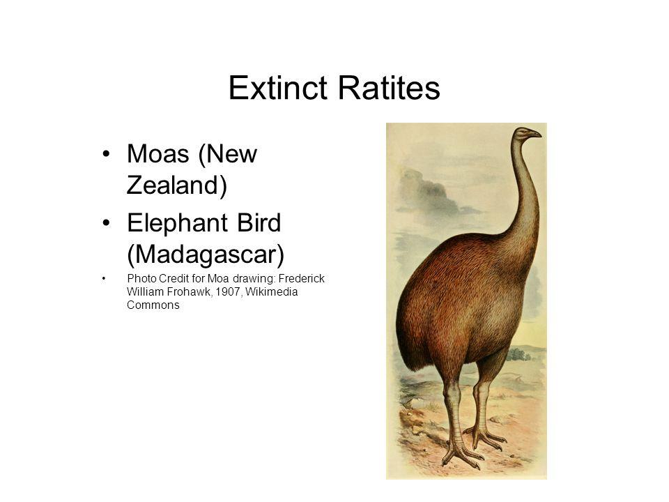 Extinct Ratites Moas (New Zealand) Elephant Bird (Madagascar) Photo Credit for Moa drawing: Frederick William Frohawk, 1907, Wikimedia Commons