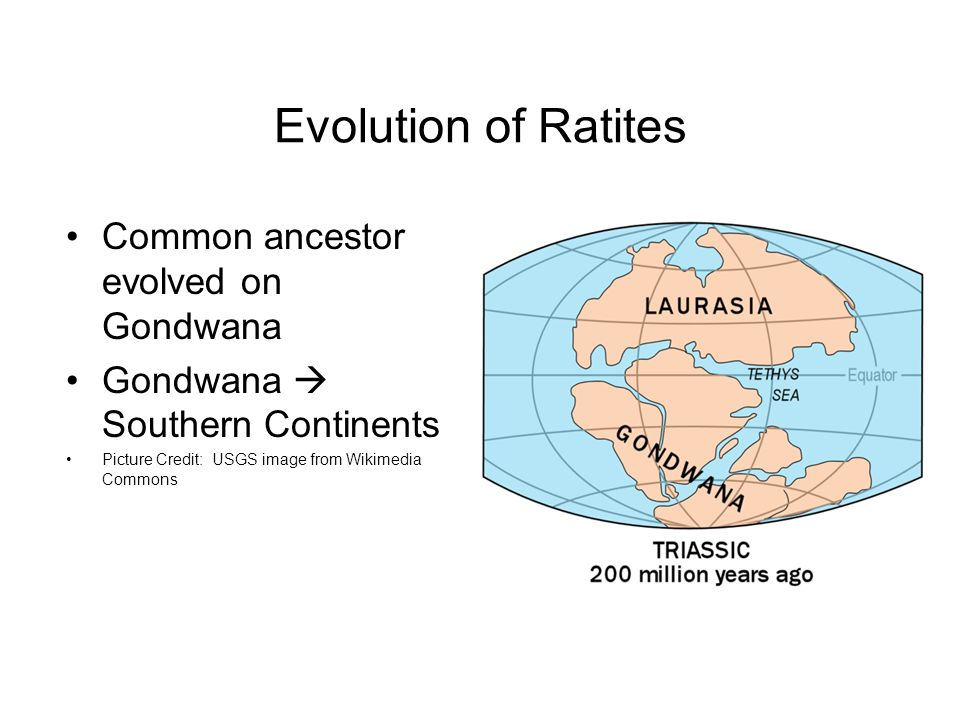 Evolution of Ratites Common ancestor evolved on Gondwana Gondwana  Southern Continents Picture Credit: USGS image from Wikimedia Commons
