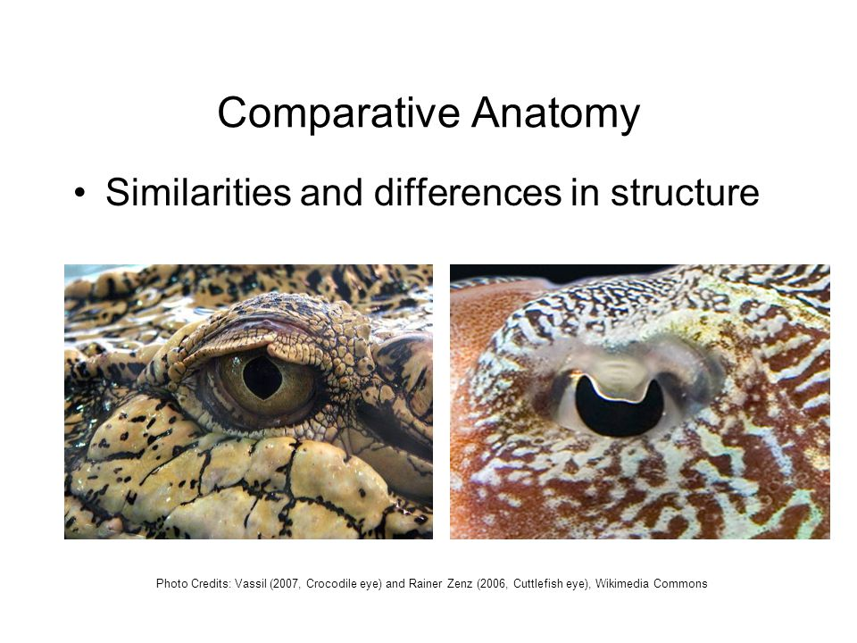 Comparative Anatomy Similarities and differences in structure Photo Credits: Vassil (2007, Crocodile eye) and Rainer Zenz (2006, Cuttlefish eye), Wikimedia Commons
