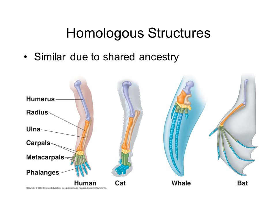Homologous Structures Similar due to shared ancestry