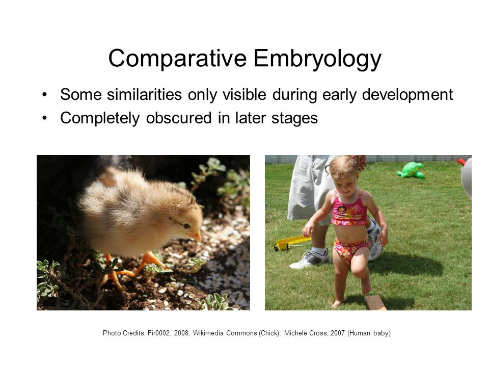 Comparative Embryology Some similarities only visible during early development Completely obscured in later stages Photo Credits: Fir0002, 2008, Wikimedia Commons (Chick); Michele Cross, 2007 (Human baby)