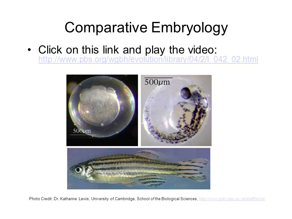 Comparative Embryology Click on this link and play the video: http://www.pbs.org/wgbh/evolution/library/04/2/l_042_02.html http://www.pbs.org/wgbh/evo
