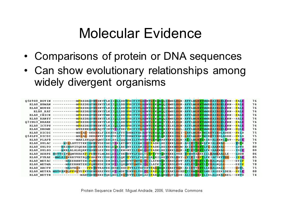Molecular Evidence Comparisons of protein or DNA sequences Can show evolutionary relationships among widely divergent organisms Protein Sequence Credi