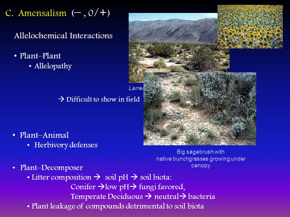 C. Amensalism ( –, 0 /+ ) Allelochemical Interactions Plant–Plant Allelopathy Larrea tridentata - Creosote Plant–Animal Herbivory defenses Big sagebru