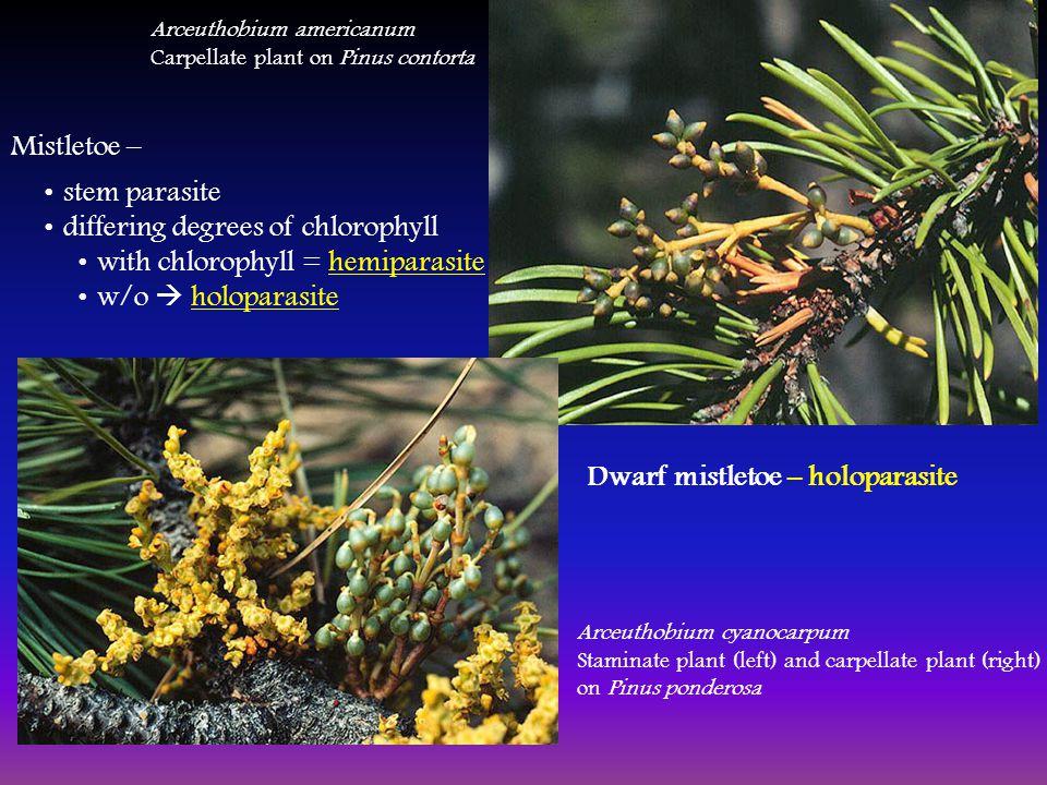 Mistletoe – stem parasite differing degrees of chlorophyll with chlorophyll = hemiparasite w/o  holoparasite Arceuthobium americanum Carpellate plant on Pinus contorta Arceuthobium cyanocarpum Staminate plant (left) and carpellate plant (right) on Pinus ponderosa Dwarf mistletoe – holoparasite