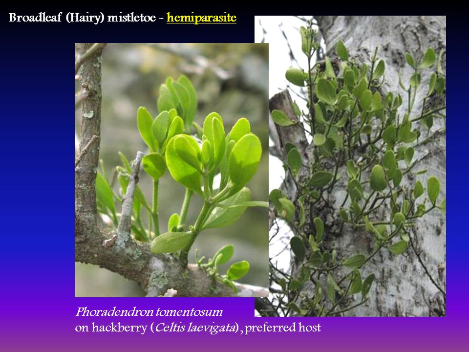 Broadleaf (Hairy) mistletoe - hemiparasite Phoradendron tomentosum on hackberry (Celtis laevigata), preferred host