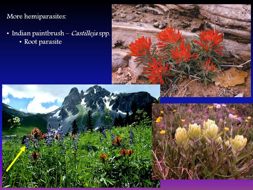 More hemiparasites: Indian paintbrush – Castilleja spp. Root parasite