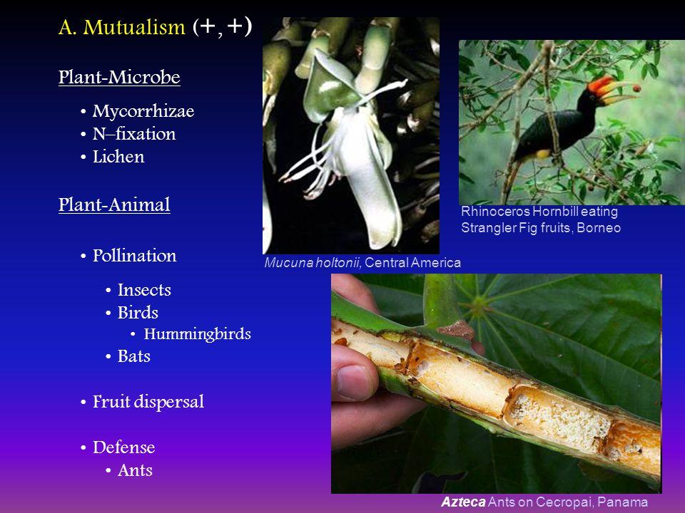 A. Mutualism ( +, +) Plant - Microbe Mycorrhizae N–fixation Lichen Rhinoceros Hornbill eating Strangler Fig fruits, Borneo Mucuna holtonii, Central Am