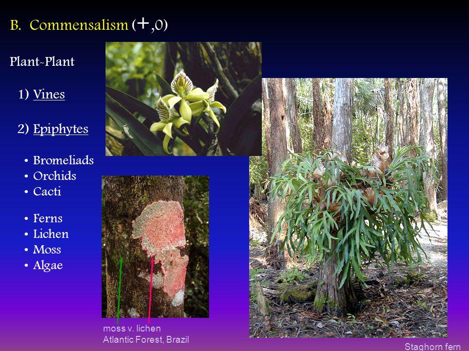 moss v. lichen Atlantic Forest, Brazil B.