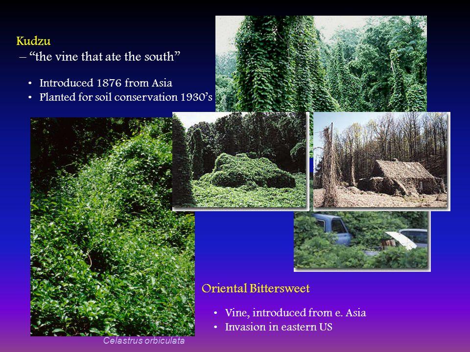 Pueraria montana var.
