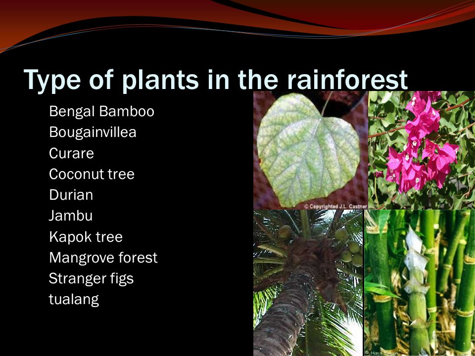 Type of plants in the rainforest Bengal Bamboo Bougainvillea Curare Coconut tree Durian Jambu Kapok tree Mangrove forest Stranger figs tualang