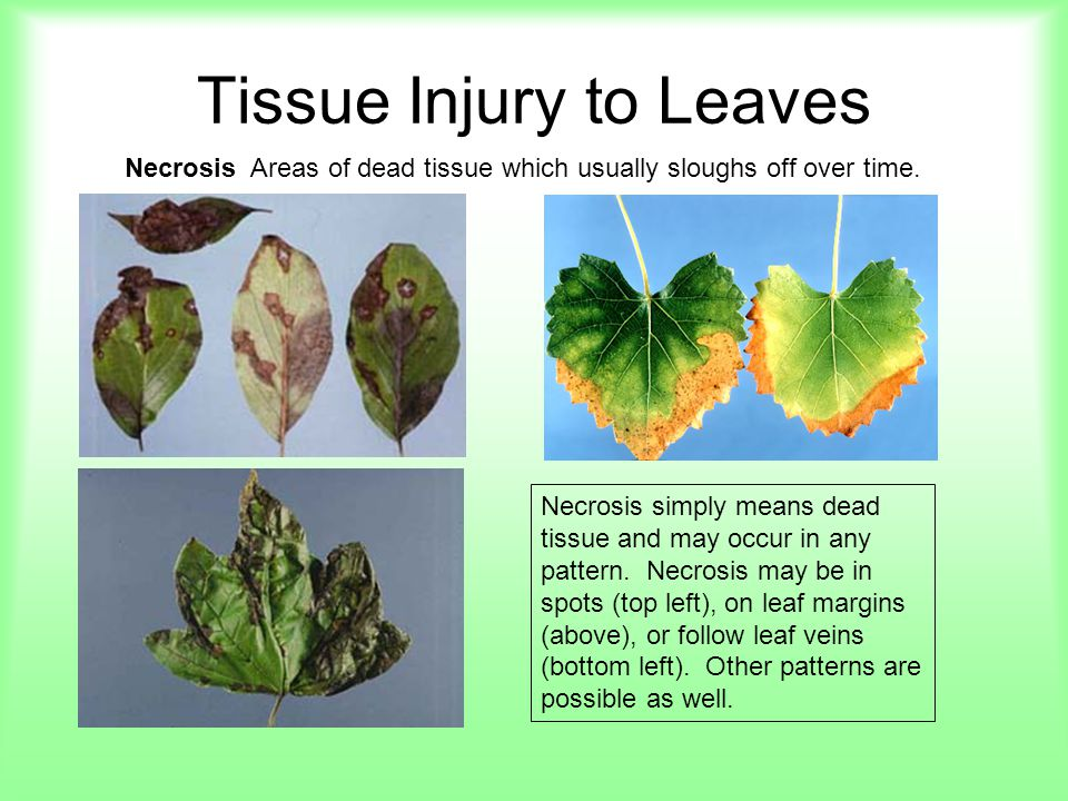 Tissue Injury to Leaves Necrosis Areas of dead tissue which usually sloughs off over time. Necrosis simply means dead tissue and may occur in any patt
