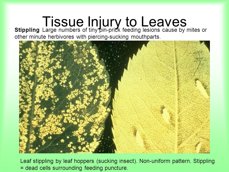 Tissue Injury to Leaves Stippling Large numbers of tiny pin-prick feeding lesions cause by mites or other minute herbivores with piercing-sucking mout