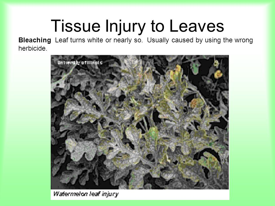Tissue Injury to Leaves Bleaching Leaf turns white or nearly so. Usually caused by using the wrong herbicide.