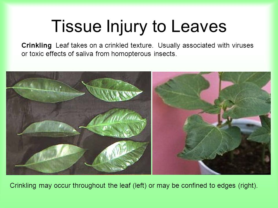 Tissue Injury to Leaves Cupping and Curling Leaves cup up or down or they curl inward from the edges.
