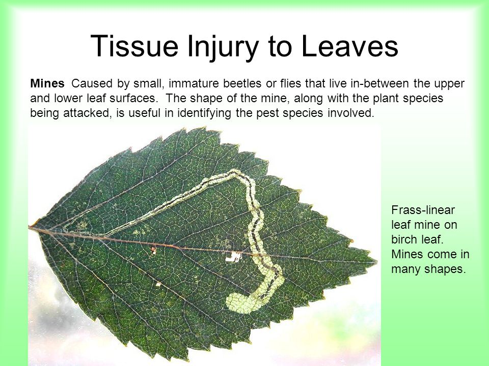 Tissue Injury to Leaves Mottling Leaf is not uniform in color but is, instead, a mottled mixture of different shades of green to yellow.