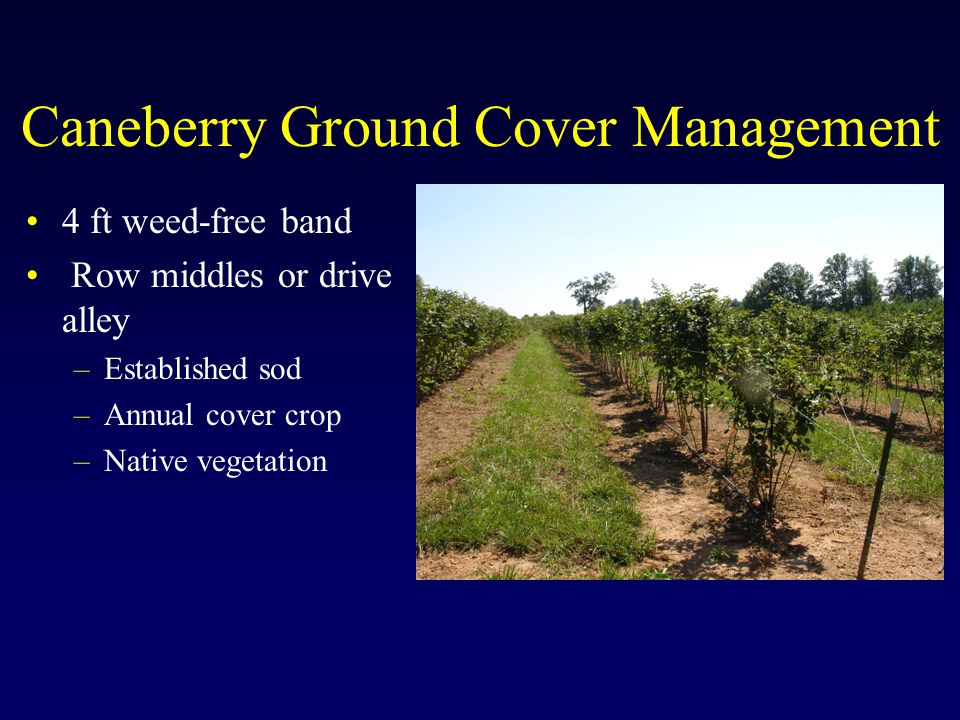 Caneberry Ground Cover Management 4 ft weed-free band Row middles or drive alley –Established sod –Annual cover crop –Native vegetation